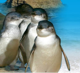 Phillip Island Penguin Parade - Phillip Island Accommodation