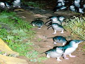 Penneshaw Penguin Centre - Phillip Island Accommodation