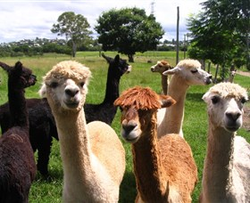 Banyandah Alpacas - Phillip Island Accommodation