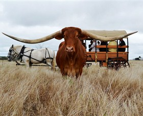 Texas Longhorn Wagon Tours and Safaris - Phillip Island Accommodation
