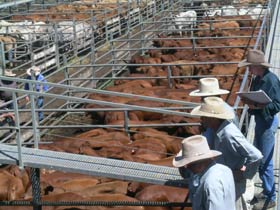Dalrymple Sales Yards - Cattle Sales - Phillip Island Accommodation
