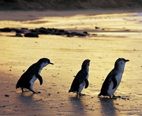 Phillip Island Nature Park - Phillip Island Accommodation