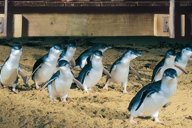 Half Day Phillip Island Penguin Parade PLUS Tour - Phillip Island Accommodation